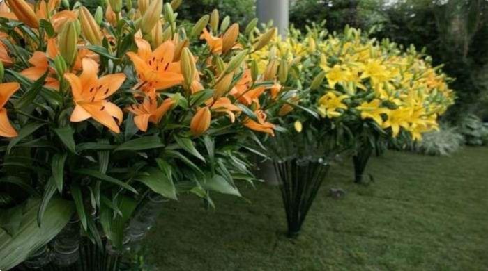 как правильно сажать лилии
