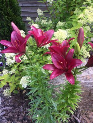 как вырастить лилии