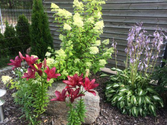 Лилии — посадка и уход в открытом грунте. Советы начинающим садоводам