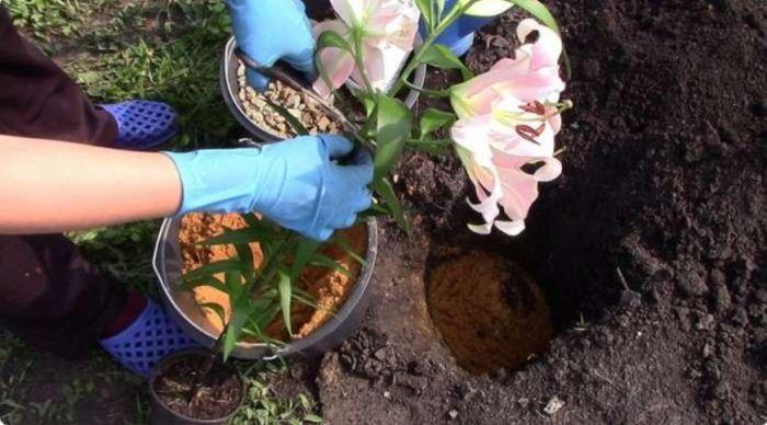 когда сажать лилии в открытый грунт