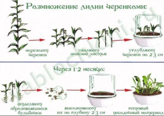 размножение лилии черенками
