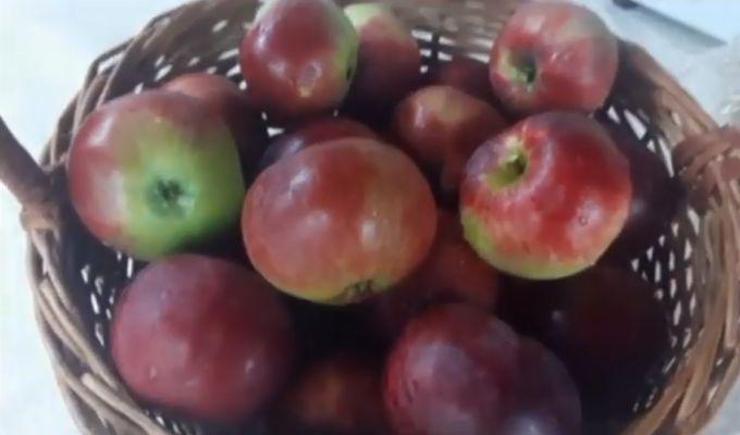 яблоки для сока используем любых сортов
